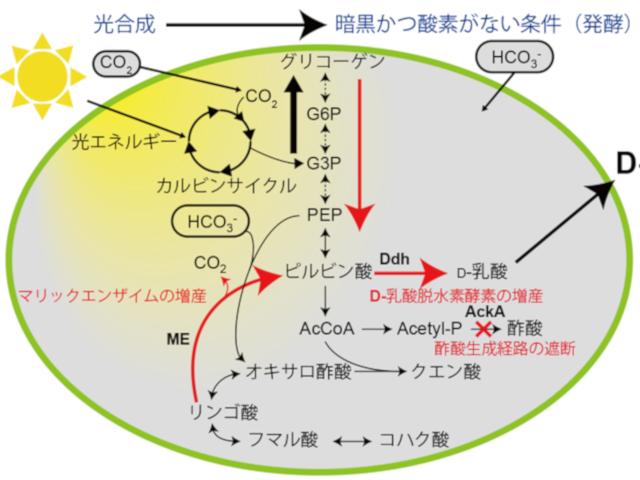 ラン藻で高濃度D-乳酸生産技術の開発に成功